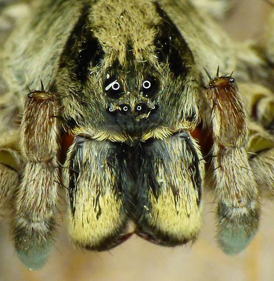 Wolf Spider - Geolycosa fatifera
