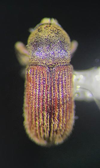 Bark beetle - Cnesinus strigicollis