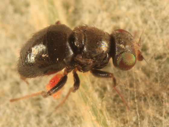 tiny wingless fly - Conioscinella zetterstedti