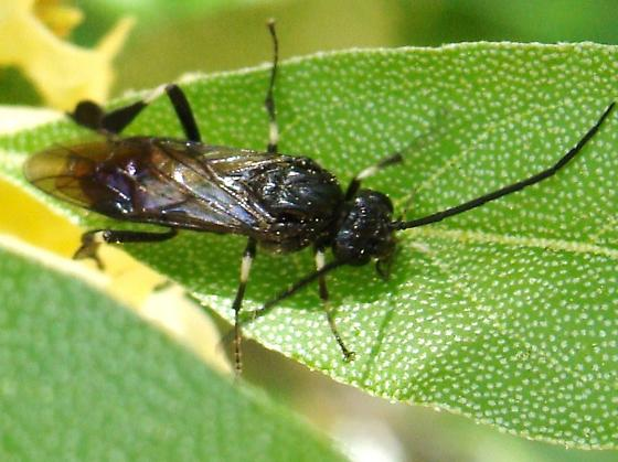 Cool Sawfly (I guess...?) - Craesus