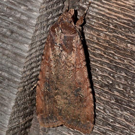 Dark Noctuid Moth - Peridroma saucia