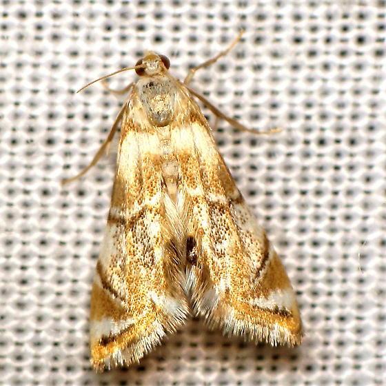 Petrophila I - Petrophila
