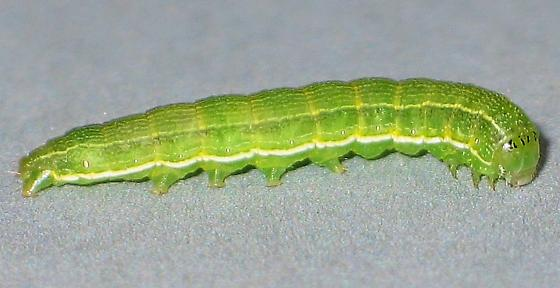 striped green caterpillar