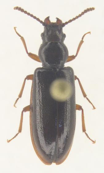 Prigonathus monilicornis - Priognathus monilicornis