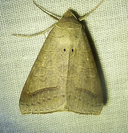 Mocis marcidaWithered Mocis Moth  - Mocis marcida