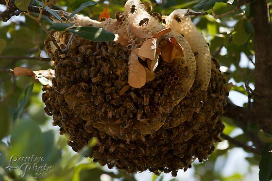 Strange bee hive - Apis mellifera