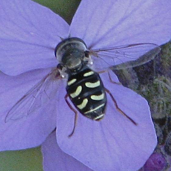 fly - Eupeodes volucris - female
