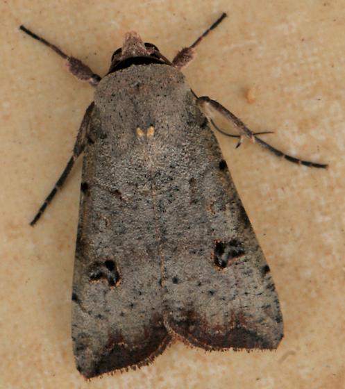 Green Cutworm Moth - Anicla infecta