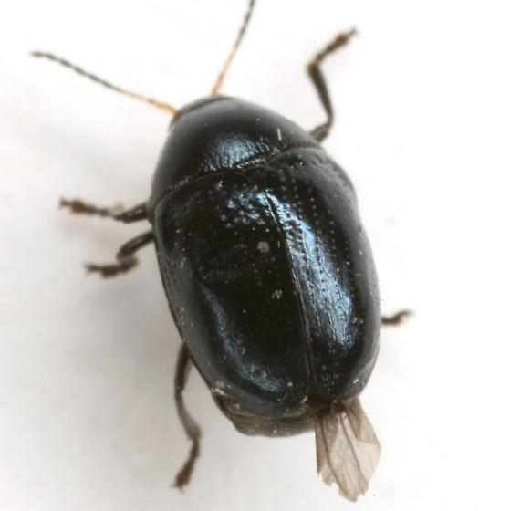 Lexiphanes saponatus (Fabricius) - Lexiphanes saponatus