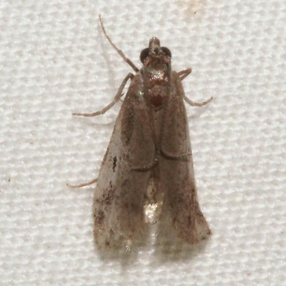 Hodges#5648 - Alpheias oculiferalis