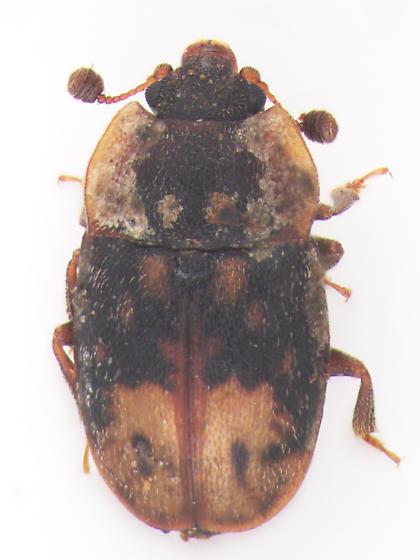Nitidulidae - Omosita nearctica