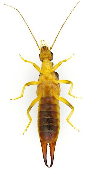 Female, Labidura riparia? - Labidura riparia - female