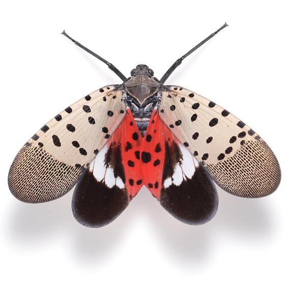 Lycorma delicatula - female