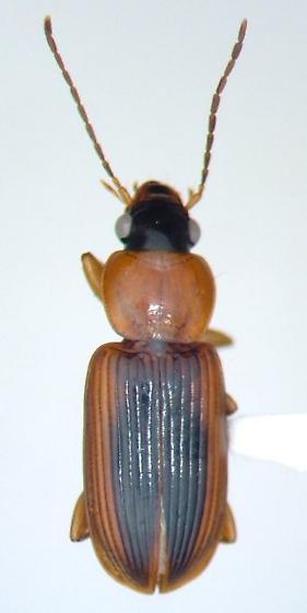 Stenolophus dissimilis - male