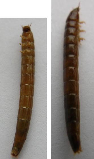 Crane fly larva or midge larva?