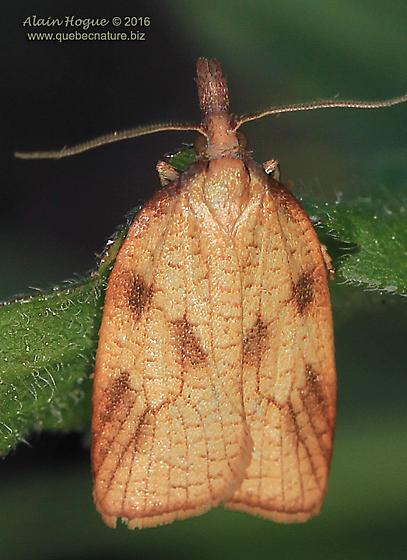 Tortricoidea - Sparganothis xanthoides