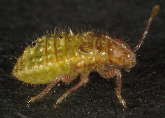 Unknown nymph