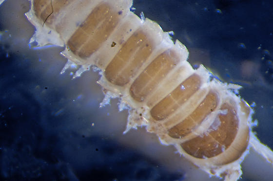 Unknown Millipede - Oxidus gracilis
