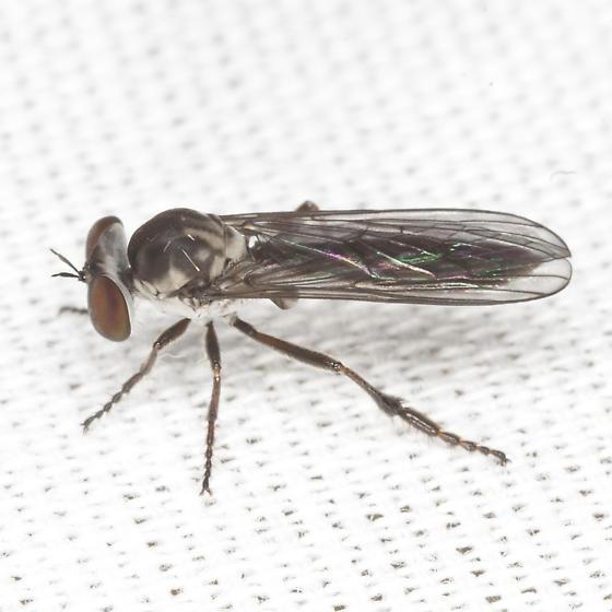 Tiger Fly ? - Holcocephala calva