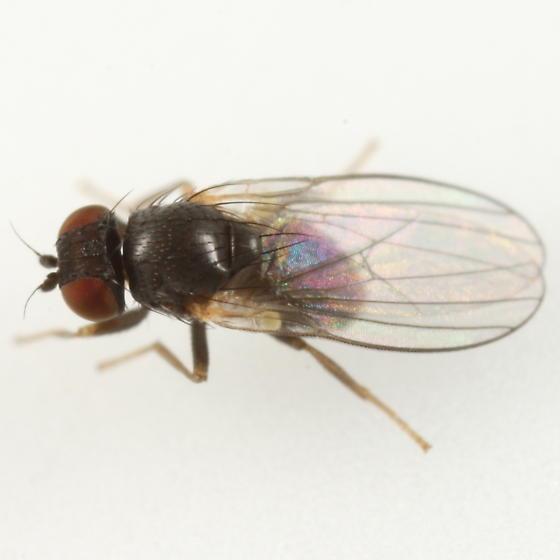 Agromyza idaeiana - male