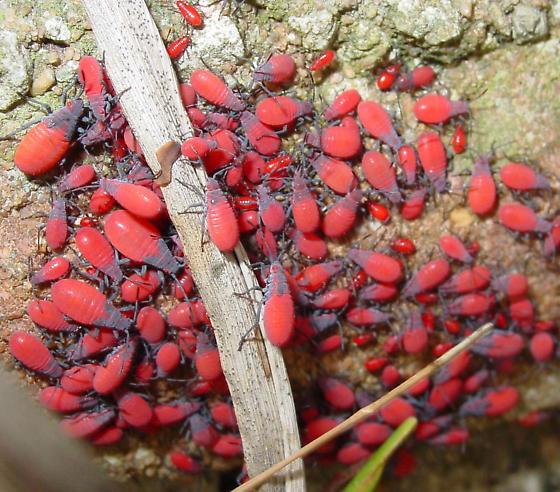 Red-shouldered Bug nymphs - Jadera haematoloma