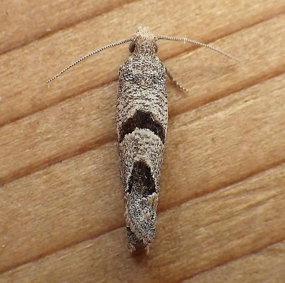 Tortricidae: Eucosma seamansi? - Pelochrista costastriata
