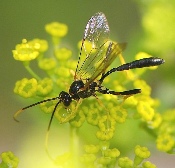 Ichneumon Wasp  - Acroricnus stylator - male