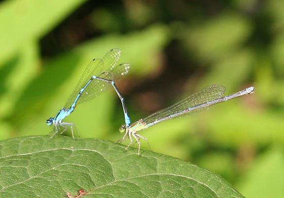 Damselflies (mating pair) - Enallagma exsulans - male - female