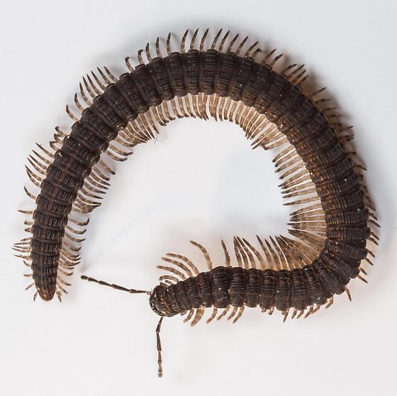 Milipede - Abacion - male