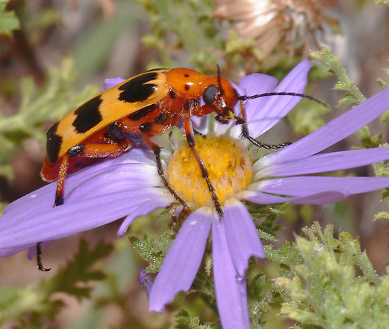 Charlie Brown Blister Beetle - Pyrota concinna