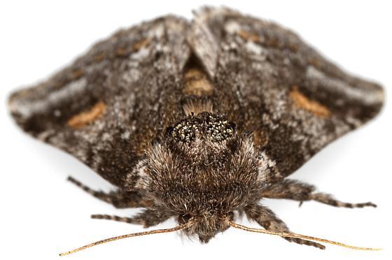 Female, Praeschausia zapata?