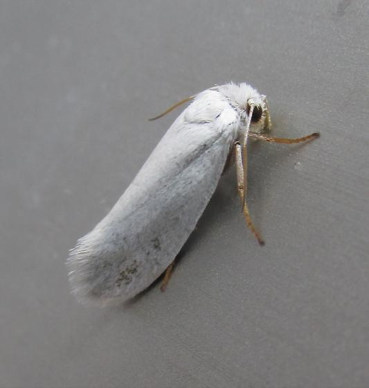Which Yucca moth?