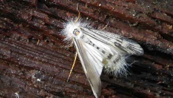 Moth or Caddisfly? - Halesochila taylori
