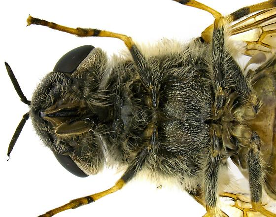 Hedriodiscus? - Odontomyia pilosa - female