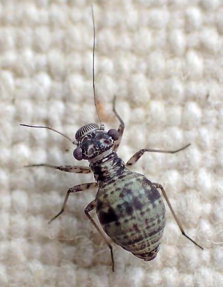 Mesopsocus unipunctatus? - Mesopsocus unipunctatus