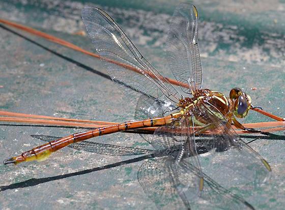 ? - Aphylla williamsoni - male