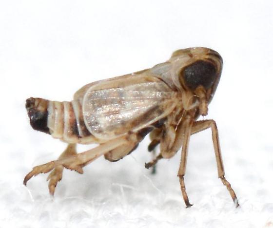 Spartidelphax penedetectus