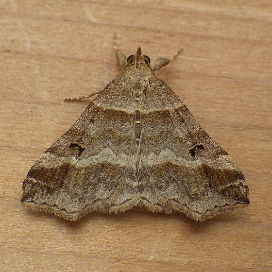 Erebidae: Phalaenophana pyramusalis - Phalaenophana pyramusalis