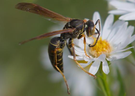 Unidentified paper wasp - Polistes fuscatus - male