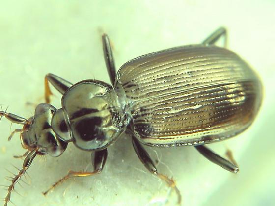 bristly-antennaed carabid - Loricera pilicornis