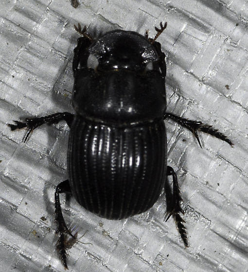 Black beetle at the bottom of the sheet - Copris