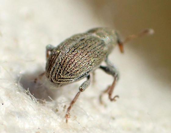 Small yellowish weevil - Tychius