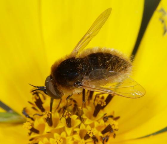 Sparnopolius confusus - male