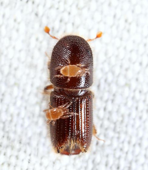 Scolytinae  - Ips grandicollis