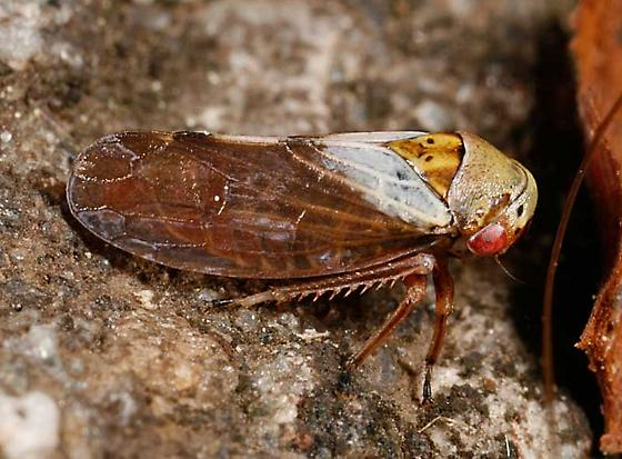 Oncopsis - Oncopsis flavicollis - female