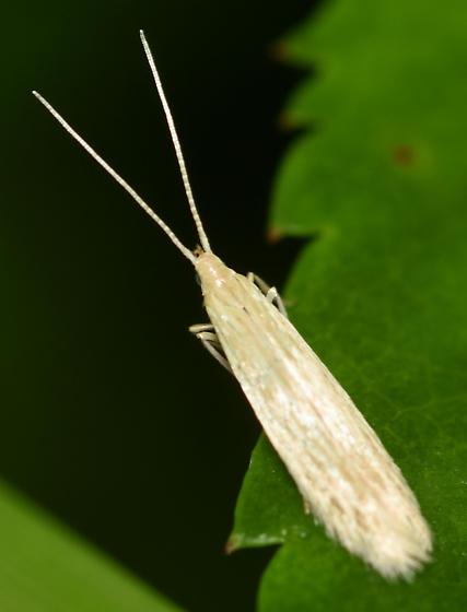 seed casebearer moth - Coleophora fagicorticella