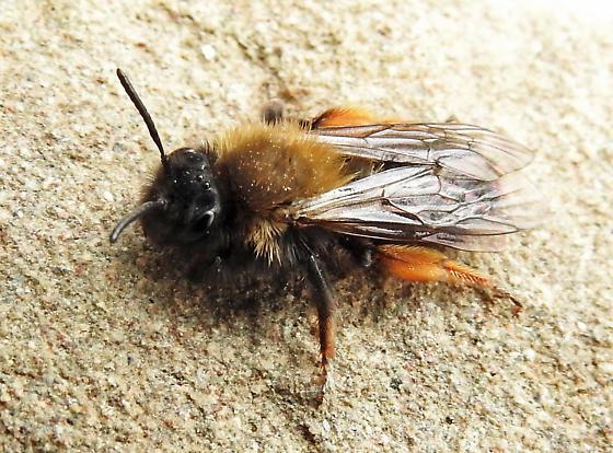 Mining Bee - Andrena clarkella - female