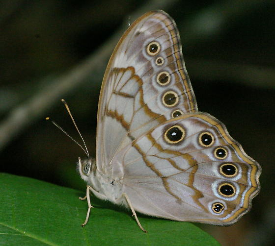 Creole Pearly-eye - Lethe creola