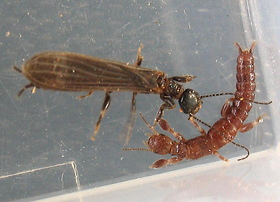 Webspinner sexes compared - Oligotoma nigra - male - female