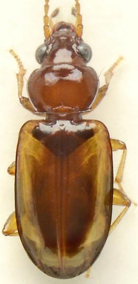 Tachys pulchellus